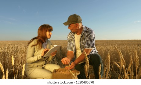 farmers and business woman teamwork in field. agronomist and farmer are holding grain of wheat in their hands. Harvesting cereals. Businesswoman checks quality of grain. Agriculture concept.