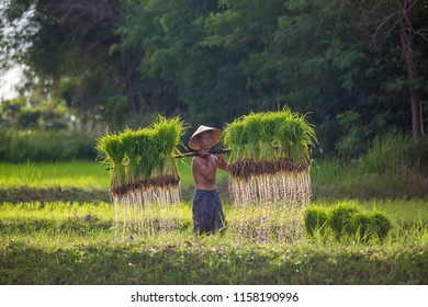 Farmers carrying seedlings in rice farm,In the rainy season in Thailand