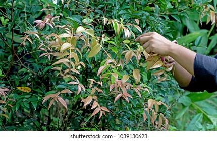 Farmers collect produce Syzygium gratum