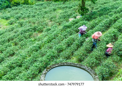 Farmers are collecting tea leaves on the tea farm.