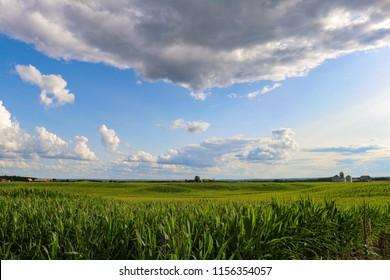 Farmers corn fields in july