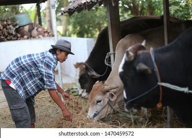 farmers cow holding field. yogyakata indonesia. august 5, 2019.
