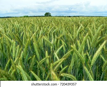 The farmer's crops on the field are green in the spring