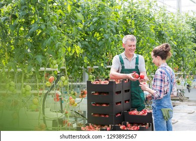 Farmers examining organic tomatoes by plants in greenhouse