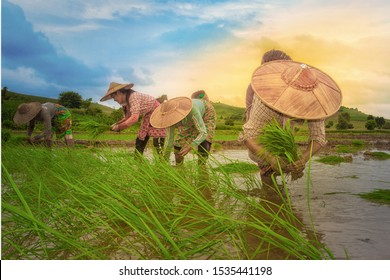Farmers farming rice plants in the rice field: Shan State, Myanmar. On 10 August 2018