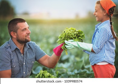 Farmers. Father and daughter harvest cabbage in the field.