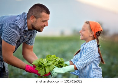 Farmers. Father and daughter harvest cabbages and carrots in the field.