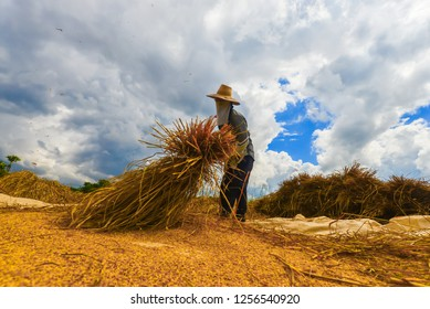 Farmers are gathering rice to produce only grain. Traditional farming in Asia and Thailand.