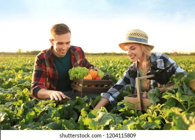 Farmers gathering vegetables in field