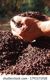 Farmers grasping Indonesian dried cloves. Cloves are scented dried flower buds from the Myrtaceae tree family.