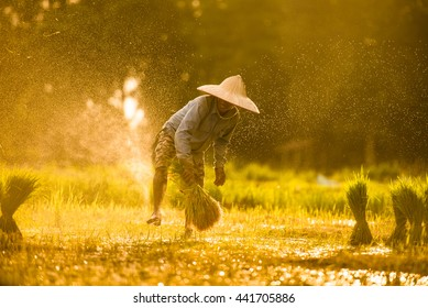 Farmers grow rice in the rainy season. They were soaked with water and mud to be prepared for planting. Focus on the man and de focus on the water in front of him for beautiful Bokeh.