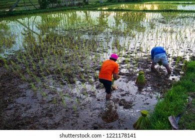 Farmers are growing rice.