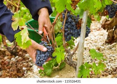 Farmer's hand cut grape