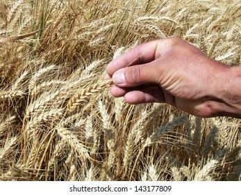 Farmer's hand holding wheat ears