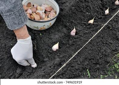 farmer's hand planting garlic in the vegetable garden