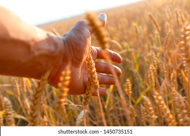 Farmers hand touches the ear of wheat at sunset. The agriculturist inspects a field of ripe wheat. farmer on wheat field at sunset