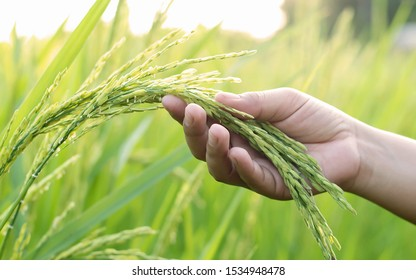 The farmer's hand touches the rice field in warm sunshine.