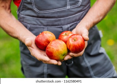 Farmers hands with freshly harvested apples. Agriculture and gardening concept.