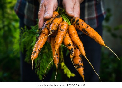 Farmer's hands with freshly harvested carrots. Shallow depth of field.