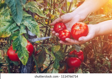 Farmers hands with freshly harvested tomatoes. Freshly harvested tomatoes in hands. Young girl hand holding organic green natural healthy food. Woman hands holding tomatoes.