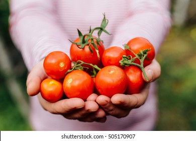Farmers hands with freshly harvested tomatoes and pepper. Freshly harvested tomatoes in hands. Young girl hand holding organic green natural healthy food produce pepper. Woman holding cherry tomatoes
