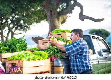 Farmer's hands holding fresh radish,with fresh vegetables in truck