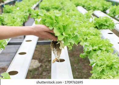 Farmers hands holding fresh vegetables see root in hydroponic garden during morning time food.Growing plants vegetables salad farm, in water, without soil. Hydroponic lettuces in hydroponic pipe.