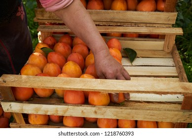 The farmer's hands stacks fresh persimmon fruit in wooden box with persimmons, close-up. Agriculture and harvesting concept, outdoors