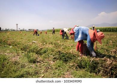 Farmers harvest Onion in farm