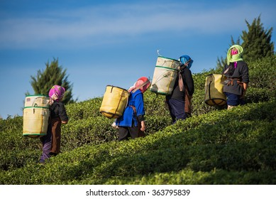 Farmers harvest Oolong tea leaves in a tea plantation on the morning time