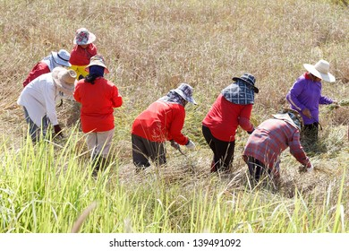 Farmers to harvest rice.