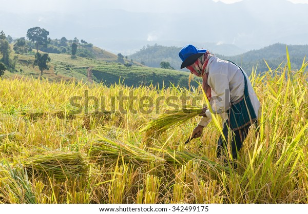 Man cutting rice plants , Farmer Rice Agriculture Harvest , The farmer who  receives the wheat transparent background PNG clipart | HiClipart