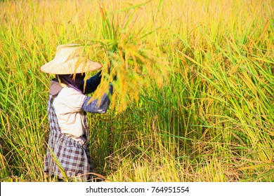 Farmers harvest rice in the harvest season with landscape natural background.