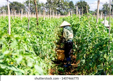 Farmers harvest tomatoes at the garden in Da Lat, Viet Nam