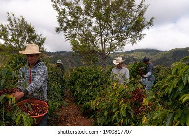 Farmers harvesting coffee in coffee plantations  of Guatemala.