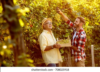 farmers harvesting grapes in vineyard - happy father and son