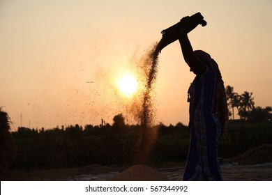 Farmers harvesting rice in rice field in india.