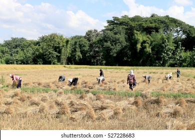 farmers harvesting rice in Thailand, Thai farmers work in rice field in harvest season, in the North of Thailand, Everyday they endure from the sun, hot weather
