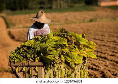 Farmers harvesting tobacco manually. Brazil. Tabacco.