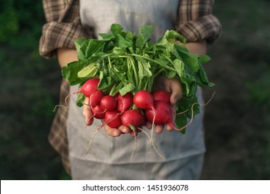 Farmers holding fresh radish in hands on farm. Woman hands holding freshly bunch harvest. Healthy organic food, vegetables, agriculture, close up