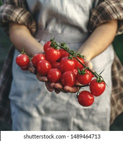 Farmers holding fresh tomatoes in hands on farm at sunset. Woman hands holding freshly harvest. Healthy organic food, vegetables, agriculture, close up