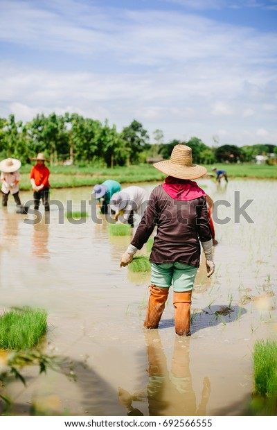 Farmers and landscape of rice field in Asian country.
