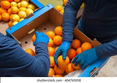 Die Landwirte wählen manuell aus und verpacken dann nur die Tarokokoorangen