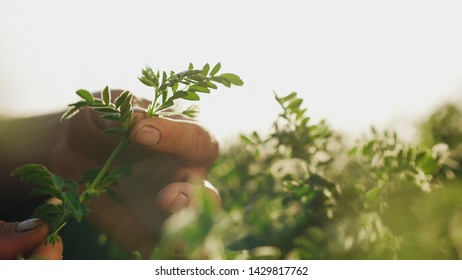 The farmer's men hands hold a branch of a blossoming chickpeas closeup