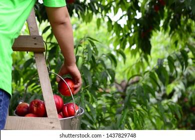farmers are picking big peaches. organic peaches, organic farm