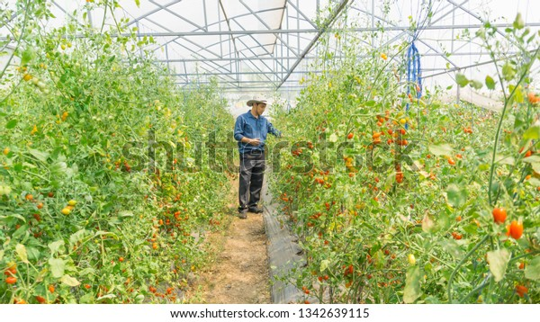 Farmers Picking Fresh Organic Tomatoes Her Stock Photo Edit Now