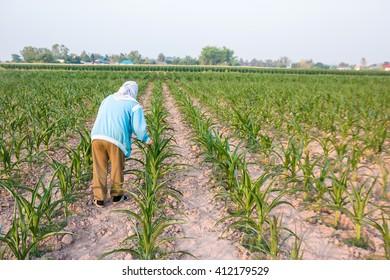 Farmers plant corn.