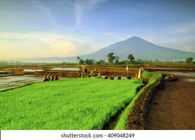 farmers plant paddy and beautiful view mountain cikuray,,west java indonesia