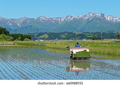 Farmers planting rice in field by using rice planting machine.