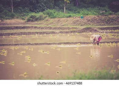 Farmers are planting rice paddy